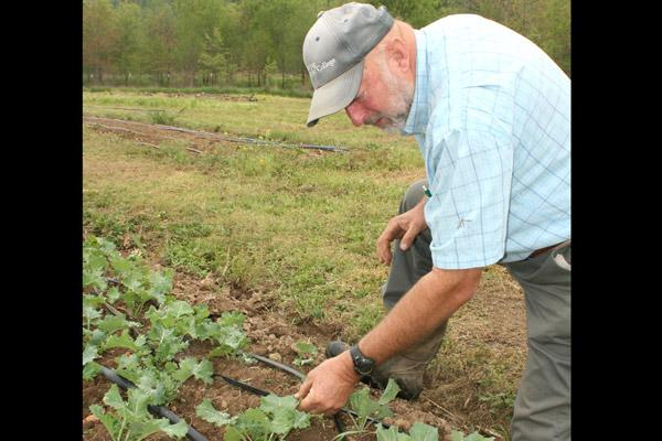 Chuck Crimmins checks on kale at the Crimmins Family Farm April 13. The family sells at the Argenta Farmers Market, a certified Arkansas market, every Saturday morning through October. (Malea Hargett photo)