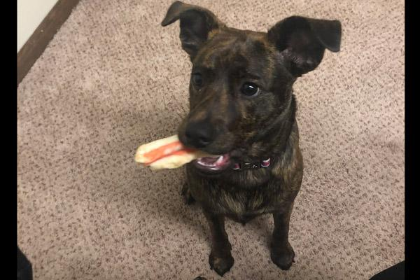"Father Luke Womack's dog Luna holds a favorite dog chew May 23, 2019 when she was about 7 months old. It's one that she will bring into the office or rectory chapel and ""throw it at me"" to play, he said. (Courtesy Father Luke Womack)"